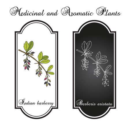 Indian Barberry Berberis aristata , medicinal plant Vektorové ilustrace