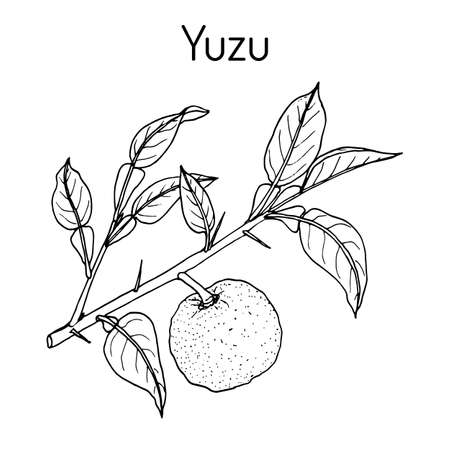 Yuzu Citrus junos , citrus fruit