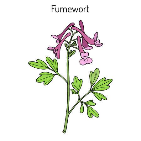 Fumewort Corydalis solida , medicinal plant