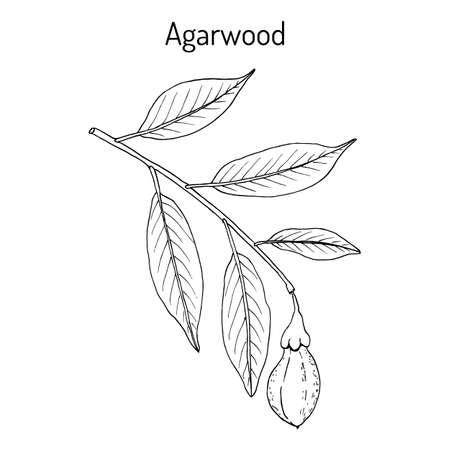 Agarwood or aloeswood Aquilaria agallocha , medicinal plant