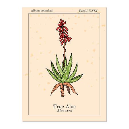 Aloe vera, medicinal plant. Hand drawn botanical vector illustration