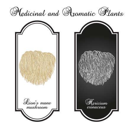 Lions mane mushroom Hericium erinaceus, edible and medicinal plant Ilustración de vector
