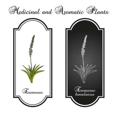 Eremurus himalaicus, or foxtail lilies, or desert candles, ornamental and medicinal plant. Hand drawn botanical vector illustration