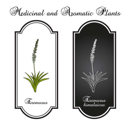 Eremurus himalaicus, or foxtail lilies, ornamental and medicinal plant
