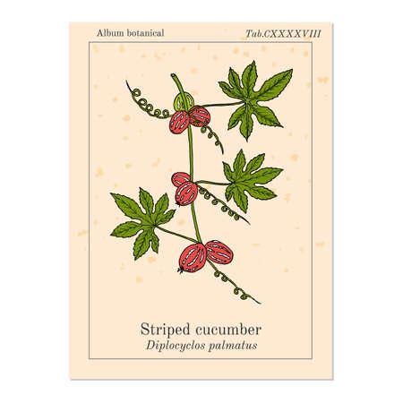 Striped cucumber or native bryony diplocyclos palmatus , medicinal plant Ilustração