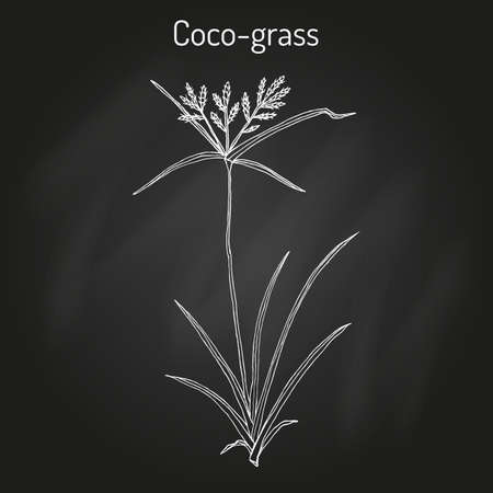 Coco-grass Cyperus rotundus , or purple nut sedge, medicinal plant
