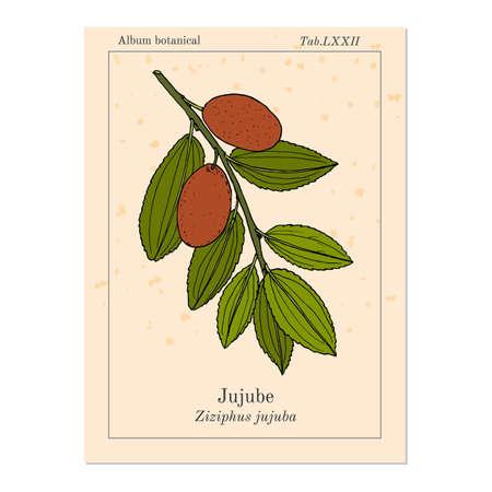 Jujube Ziziphus jujuba , or red date, medicinal plant. Hand drawn botanical vector illustration