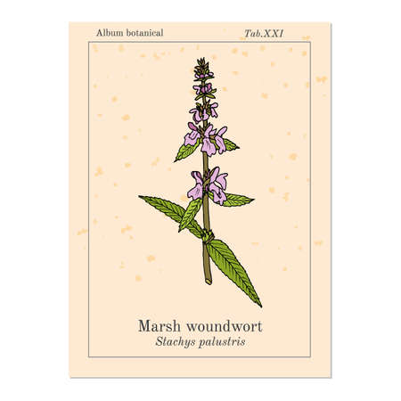 Marsh woundwort Stachys palustris , or hedge-nettle, medicinal plant