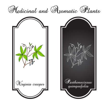Virginia creeper Parthenocissus quinquefolia , or five-leaved ivy, five-finger, ornamental and medicinal plant