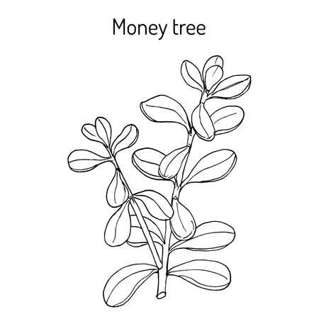 Money tree or jade plant Crassula portulacea , medicinal plant. Hand drawn botanical vector illustration