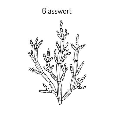 Common glasswort Salicornia europaea , medicinal plant