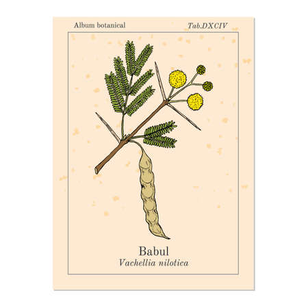 Babul Vachellia nilotica , or thorny acacia, medicinal plant Vector Illustration