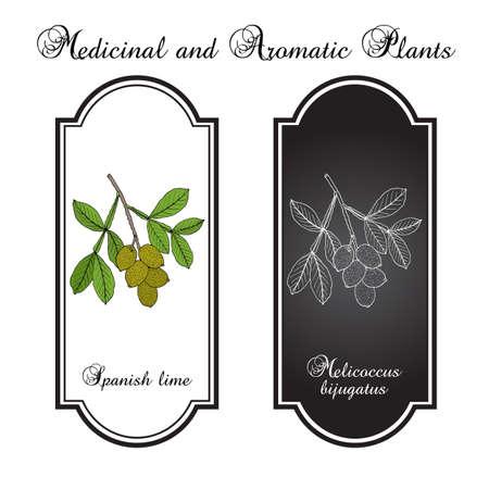 Spanish lime Melicoccus bijugatus , or ginepa, mamoncillo, medicinal plant