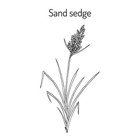 Sand sedge Carex arenaria , medicinal plant. Hand drawn botanical vector illustration