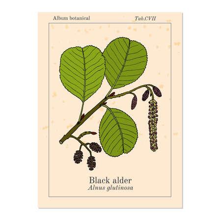 Black or European alder Alnus glutinosa , medicinal plant. Hand drawn botanical vector illustration Ilustración de vector
