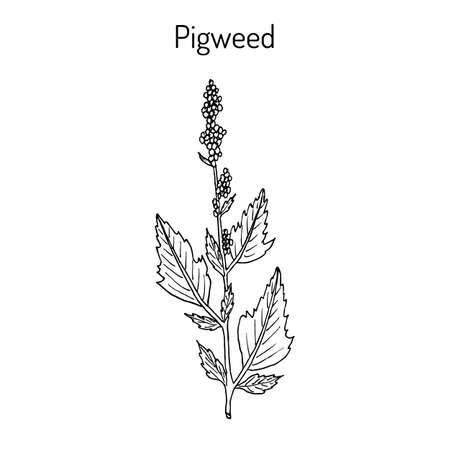 Pigweed chenopodium album , medicinal plant