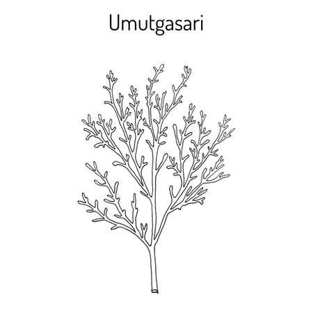 Umutgasari Gelidium amansii , edible seaweed. Hand drawn botanical vector illustration