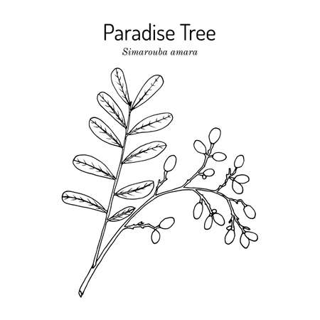 Paradise tree simarouba amara , medicinal plant Çizim