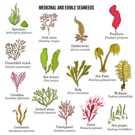 Big collection of edible and medicinal seaweeds Vecteurs