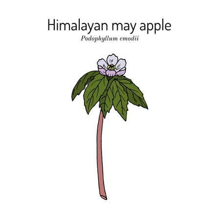 Himalayan may apple Podophyllum emodi , medicinal plant