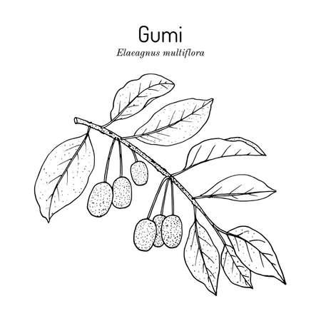 Gumi elaeagnus multiflora , edible and medicinal plant.