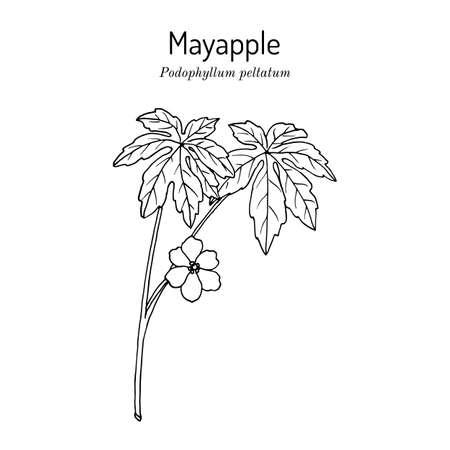 Mayapple Podophyllum peltatum , or wild mandrake, ground lemon, medicinal plant