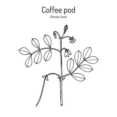 Coffee pod Senna tora , or Sickle Wild sensitive-plant, medicinal plant Illustration