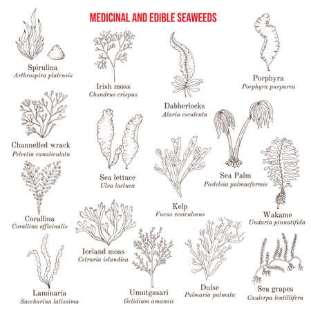 Big collection of edible and medicinal seaweeds Ilustracje wektorowe