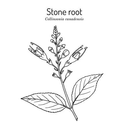 Stone root collinsonia canadensis , or Knob Grass, Hardhack, Heal-all, Rich Weed, medicinal plant. Hand drawn botanical vector illustration