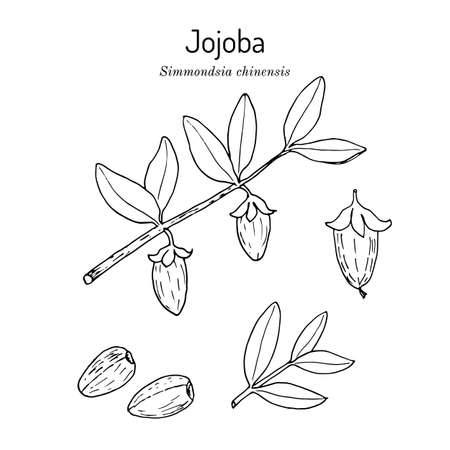 Jojoba Simmondsia chinensis or wild hazel, branch with fruits