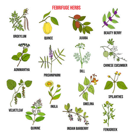 Collection d'herbes fébrifuges. Ensemble de vecteurs dessinés à la main