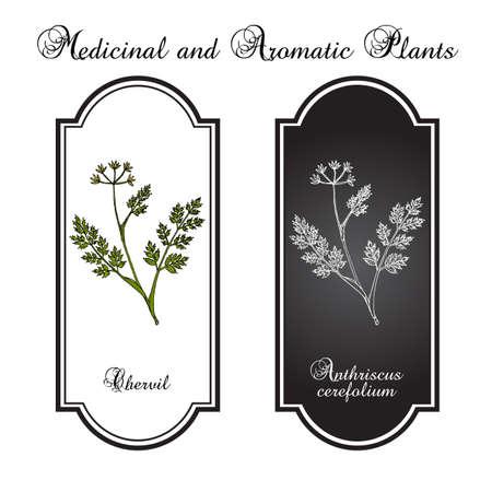 French parsley or garden chervil Anthriscus cerefolium , spice and medicinal plant Ilustração