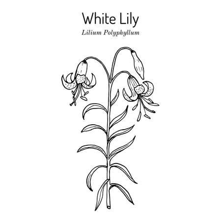 White Lily Lilium polyphyllum , medicinal plant  イラスト・ベクター素材