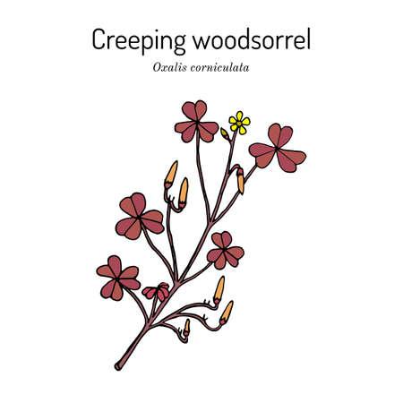 Creeping woodsorrel, Oxalis corniculata , medicinal plant