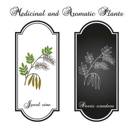 Jewel vine Derris scandens , medicinal plant  イラスト・ベクター素材