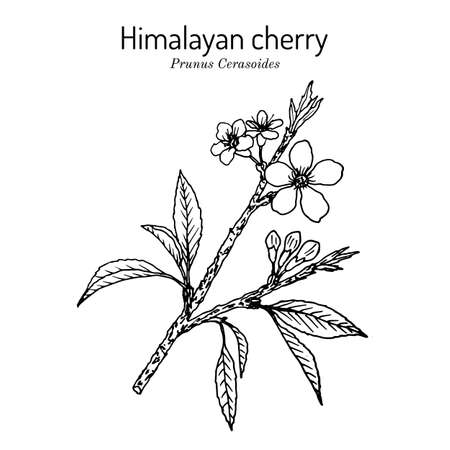 Himalayan or sour cherry Prunus cerasoides , medicinal plant. Hand drawn botanical vector illustration
