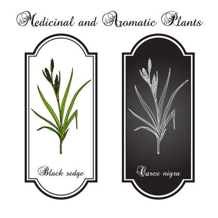 Black sedge carex nigra , medicinal plant. Hand drawn botanical vector illustration Illustration