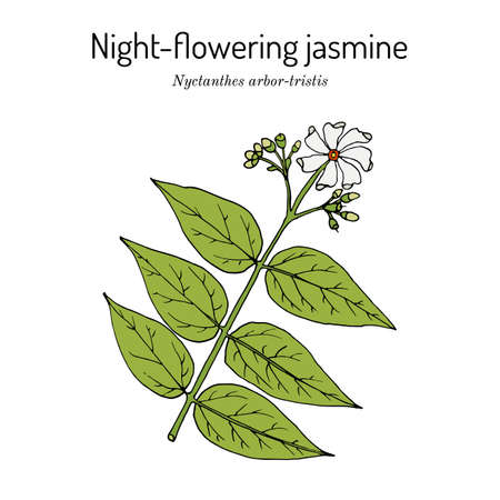 Night-flowering jasmine, or parijat, hengra bubar nyctanthes arbor-tristis , medicinal plant. Hand drawn botanical  illustration