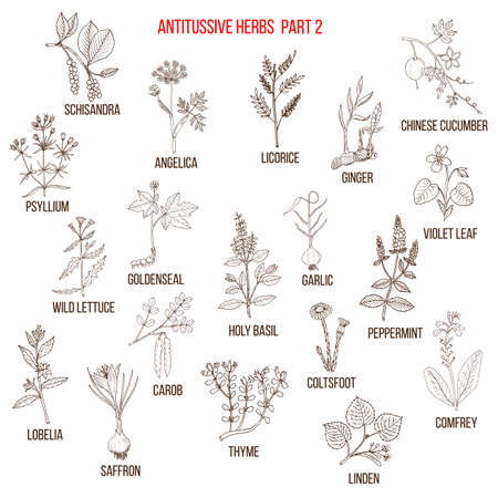 Best antitussive herbs set. Part 2. Hand drawn vector illustration