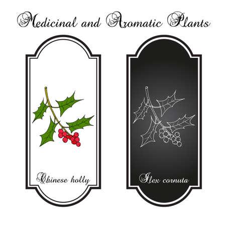 Chinese or horned holly Ilex cornuta , medicinal plant. Hand drawn botanical vector illustration Vectores