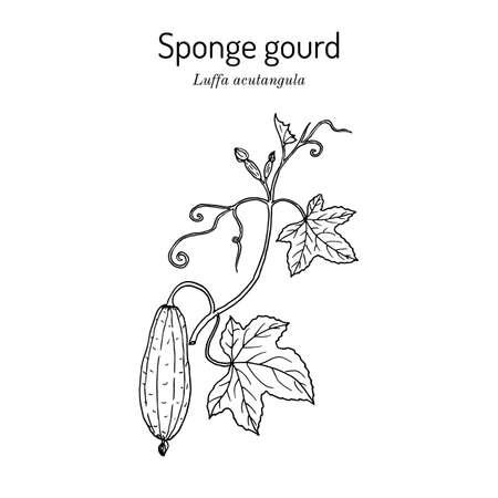 Loofah Luffa acutangula , or sponge gourd, medicinal plant. Hand drawn botanical vector illustration
