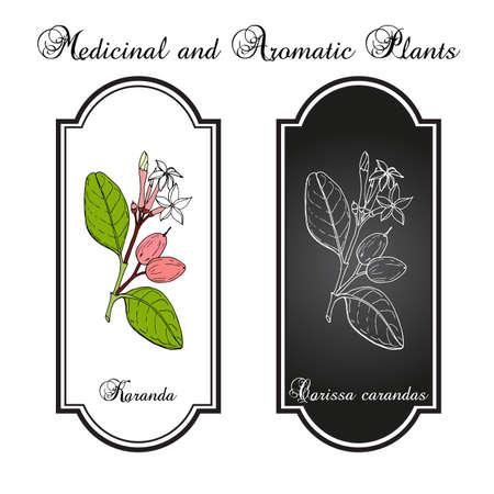 Karanda Carissa carandas , medicinal plant. Hand drawn botanical vector illustration Vectores