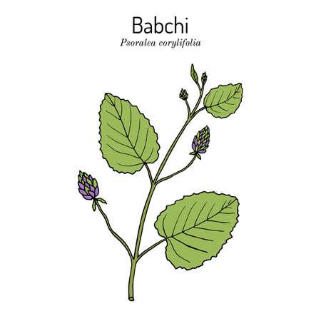 Babchi Psoralea corylifolia , medicinal plant. Hand drawn botanical vector illustration Vectores