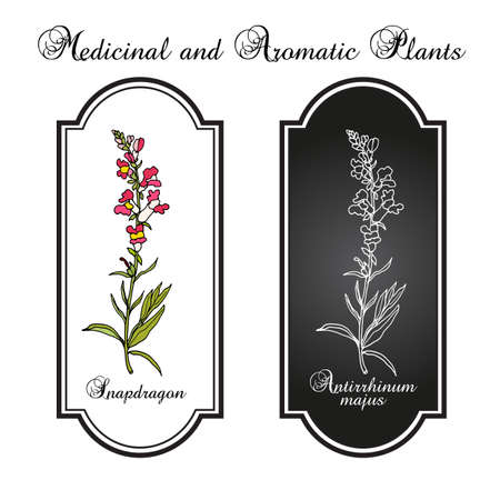 Snapdragon Antirrhinum majus , or dragon flowers, medicinal plant. Hand drawn botanical vector illustration