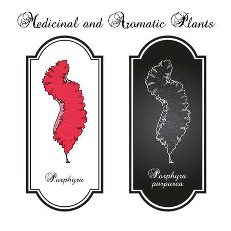 Porphyra purpurea, edible seaweed. Hand drawn botanical vector illustration