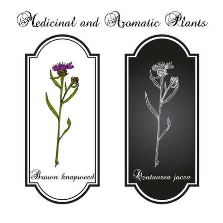 Brown brownray knapweed Centaurea jacea , medicinal plant. Hand drawn botanical vector illustration