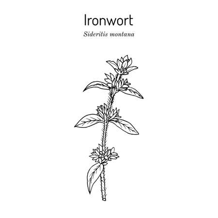 Ironwort Sideritis montana , or mountain tea, medicinal plant