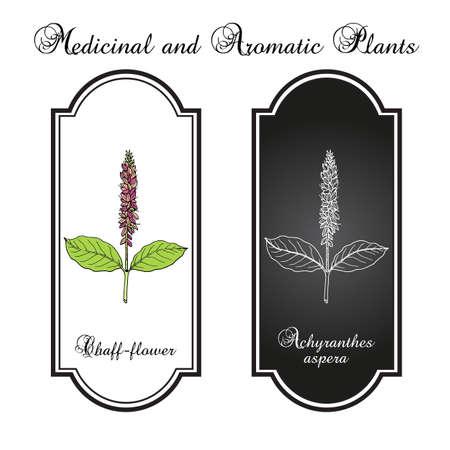 Chaff-flower achyranthes aspera , medicinal plant Vectores