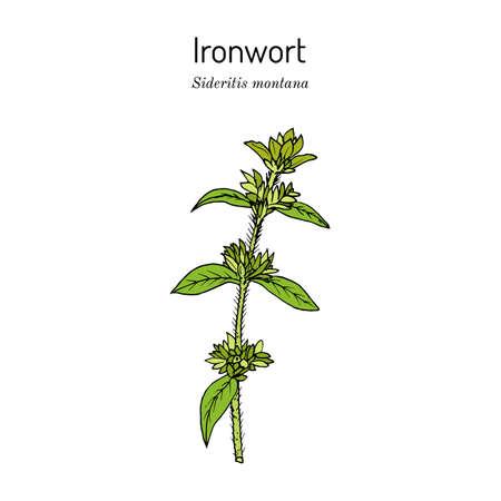 Ironwort Sideritis montana , or mountain tea