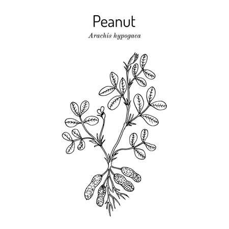 Peanut, or groundnut Arachis hypogaea .